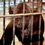 Menschenaffen sind zur Ware geworden - ein grausames Geschäft - Stolen Apes - Great apes have become a commodity!