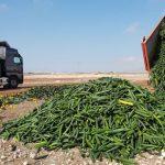 Schon wieder! Vernichtung von Gemüse in Spanien, auf Grund von Billigimporten aus Afrika!