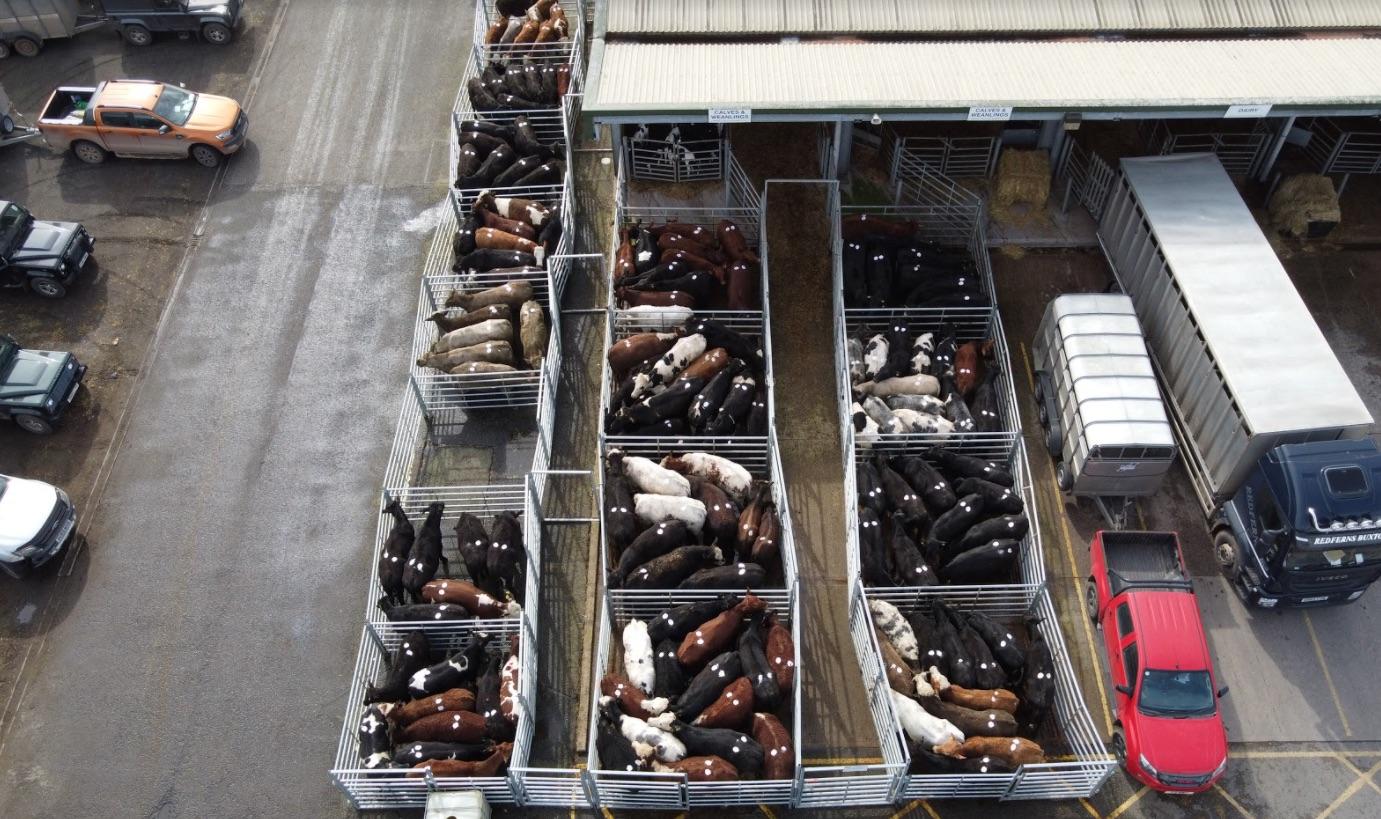 Neue Undercover-Recherche enthüllt eine der dunkelsten Seiten der Milchindustrie