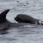 Eine ungewöhnliche Mutterliebe- Delphinmutter adoptiert ein Walkalb-That's one big baby! Bottlenose dolphin adopts pilot whale calf