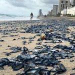 Kippt das Ökosystem? Millionen toter Quallen werden auf der ganzen Welt angespült. - If the ocean dies, we all die! Millions of dead jellyfish are washing up around the world