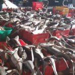 Wenn es Haien an die Leber geht- Sie haben alle fünf Massenaussterben der Tiere überstanden - jetzt sind sie bedroht- SHARKS – THE GUARDIANS OF OUR OCEANS ARE IN DANGER- Fishing kills up to 30,000 sharks EVERY HOUR
