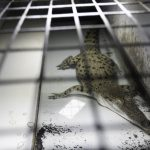 Krokodile haben die Dinosaurier überlebt, doch dann kam der Mensch- Krokodile, die wegen ihrer Haut für Louis Vuitton, Gucci, Hermès getötet werden -Hermès Crocodile Cruelty Exposed! Be skinned for a bloody handbag- Crocodile farming is another cruel animal industry