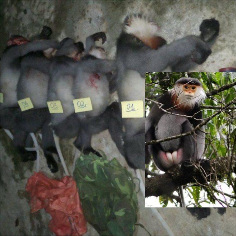 Der illegale Handel mit Wildtieren in Vietnam - Fünf vom Aussterben bedrohte Affen in Vietnam erschossen- The illegal wildlife trade in Vietnam- Five critically endangered monkeys shot dead in Vietnam