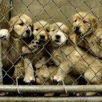 Wissen Sie, woher Ihr Designerhund wirklich herkommt? Das grausame Geschäft mit dem Welpenhandel in Europa -The big business of puppy trafficking-Puppy trafficking in Europe run by 'organised mafia'