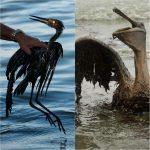 Schon wieder verpestet ein Pipeline-Leck kalifornische Küste und tötet Meerestiere- Another pipeline leak in California causing serious animal and environmental problems