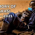 Goodbye Ndakasi - Virunga trauert - Andre und Ndakasi waren über 14 Jahre Freunde - It is with heartfelt sadness that Virunga announces the death of beloved orphaned mountain gorilla, Ndakasi